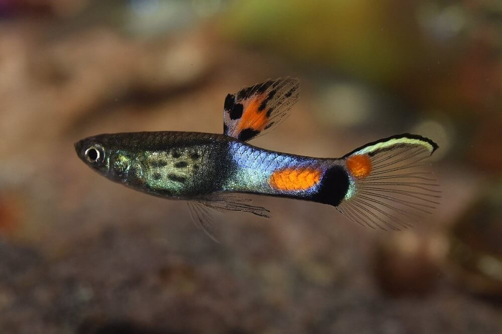 Guppy Care Requirements Profile Pet Fish Place